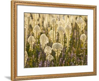 Beargrass and Lupine Backlit on the Slopes at Whitefish Mountain Resort, Whitefish, Montana, USA-Chuck Haney-Framed Photographic Print