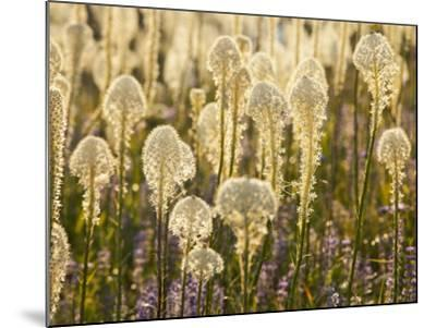 Beargrass and Lupine Backlit on the Slopes at Whitefish Mountain Resort, Whitefish, Montana, USA-Chuck Haney-Mounted Photographic Print