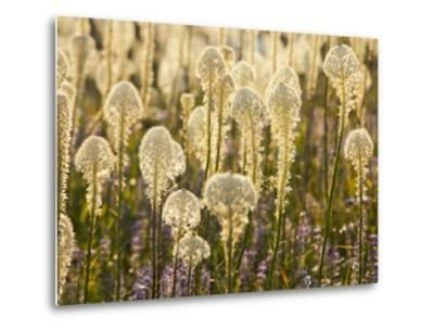 Beargrass and Lupine Backlit on the Slopes at Whitefish Mountain Resort, Whitefish, Montana, USA-Chuck Haney-Metal Print
