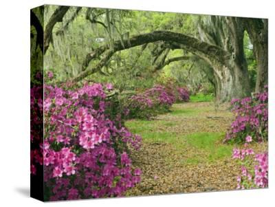 Oak Trees Above Azaleas in Bloom, Magnolia Plantation, Near Charleston, South Carolina, USA-Adam Jones-Stretched Canvas Print