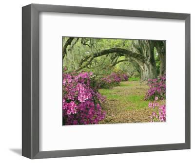 Oak Trees Above Azaleas in Bloom, Magnolia Plantation, Near Charleston, South Carolina, USA-Adam Jones-Framed Photographic Print