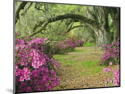 Oak Trees Above Azaleas in Bloom, Magnolia Plantation, Near Charleston, South Carolina, USA-Adam Jones-Mounted Photographic Print