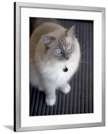 Ragdoll Cat-Savanah Stewart-Framed Photographic Print