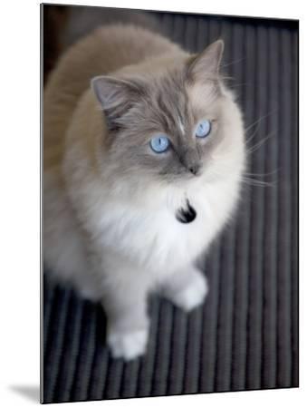 Ragdoll Cat-Savanah Stewart-Mounted Photographic Print