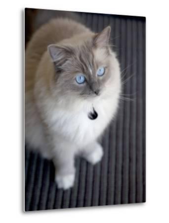 Ragdoll Cat-Savanah Stewart-Metal Print