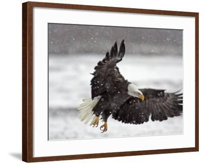 Bald Eagle Flies in Snowstorm, Chilkat Bald Eagle Preserve, Alaska, USA-Cathy & Gordon Illg-Framed Photographic Print