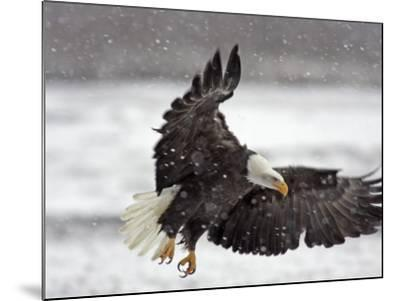 Bald Eagle Flies in Snowstorm, Chilkat Bald Eagle Preserve, Alaska, USA-Cathy & Gordon Illg-Mounted Photographic Print