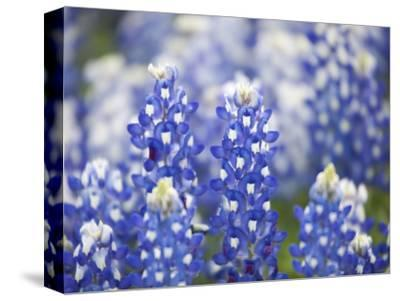 Close Up of Group of Texas Bluebonnets, Texas, USA-Julie Eggers-Stretched Canvas Print