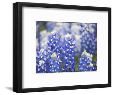 Close Up of Group of Texas Bluebonnets, Texas, USA-Julie Eggers-Framed Photographic Print