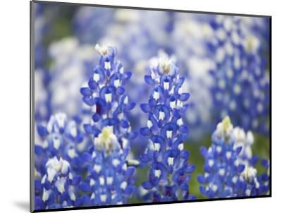 Close Up of Group of Texas Bluebonnets, Texas, USA-Julie Eggers-Mounted Photographic Print