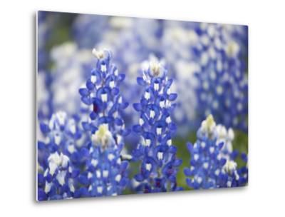 Close Up of Group of Texas Bluebonnets, Texas, USA-Julie Eggers-Metal Print