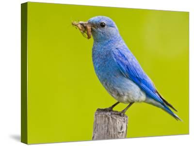 Mountain Bluebird With Caterpillars Near Kamloops, British Columbia, Canada-Larry Ditto-Stretched Canvas Print