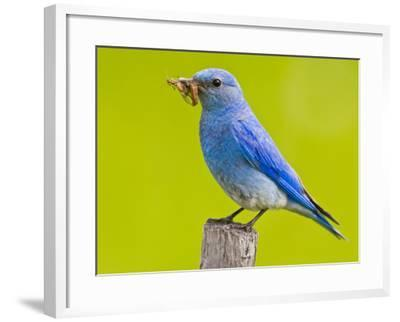 Mountain Bluebird With Caterpillars Near Kamloops, British Columbia, Canada-Larry Ditto-Framed Photographic Print