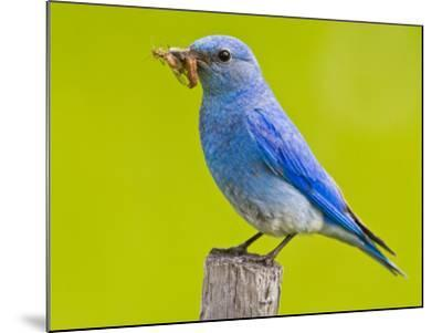 Mountain Bluebird With Caterpillars Near Kamloops, British Columbia, Canada-Larry Ditto-Mounted Photographic Print