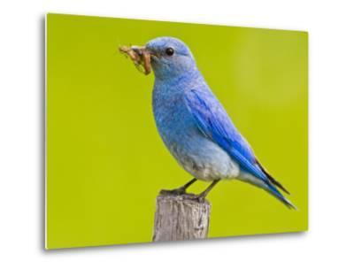 Mountain Bluebird With Caterpillars Near Kamloops, British Columbia, Canada-Larry Ditto-Metal Print
