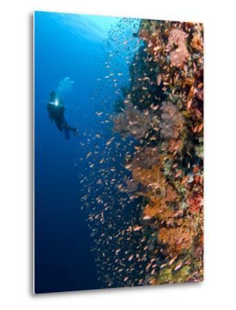 Diver With Light Next To Vertical Reef Formation, Pantar Island, Indonesia-Jones-Shimlock-Metal Print