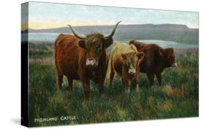 Scotland - View of Highland Cattle-Lantern Press-Stretched Canvas Print