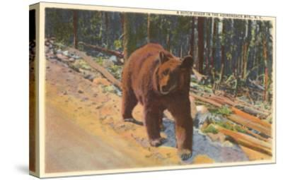 Bear in the Adirondack, New York--Stretched Canvas Print