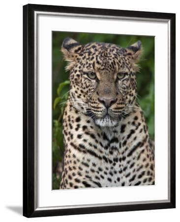 A Fine Leopard Oblivious to Light Rain in the Salient of the Aberdare National Park-Nigel Pavitt-Framed Photographic Print