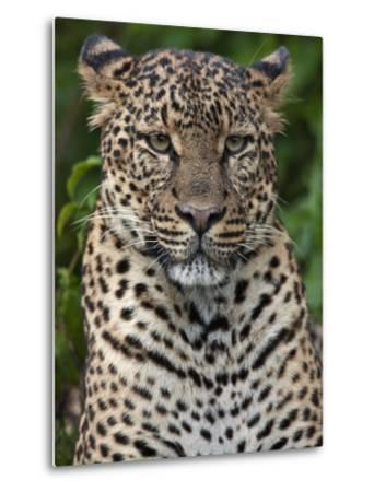 A Fine Leopard Oblivious to Light Rain in the Salient of the Aberdare National Park-Nigel Pavitt-Metal Print