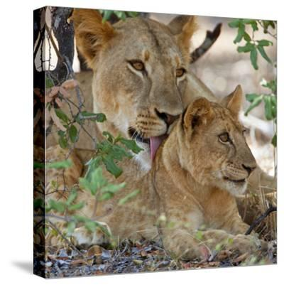 A Lioness and Cub in Selous Game Reserve-Nigel Pavitt-Stretched Canvas Print