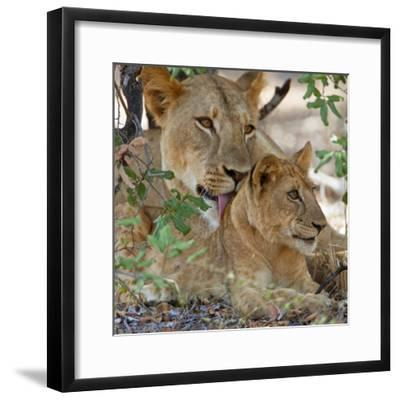 A Lioness and Cub in Selous Game Reserve-Nigel Pavitt-Framed Photographic Print