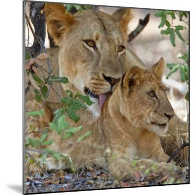 A Lioness and Cub in Selous Game Reserve-Nigel Pavitt-Mounted Photographic Print