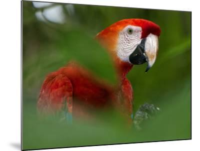 Peru; a Brilliant Scarlet Macaw in the Tropical Forest of the Amazon Basin-Nigel Pavitt-Mounted Photographic Print