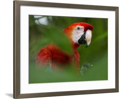 Peru; a Brilliant Scarlet Macaw in the Tropical Forest of the Amazon Basin-Nigel Pavitt-Framed Photographic Print