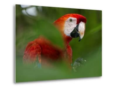 Peru; a Brilliant Scarlet Macaw in the Tropical Forest of the Amazon Basin-Nigel Pavitt-Metal Print