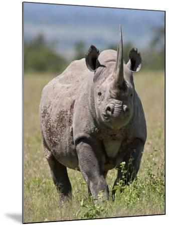 An Alert Black Rhino; Mweiga, Solio, Kenya-Nigel Pavitt-Mounted Photographic Print