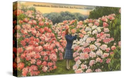 Rhododendrons, Golden Gate Park, San Francisco, California--Stretched Canvas Print
