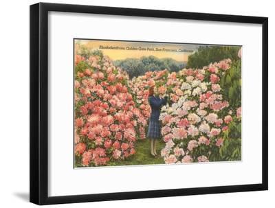 Rhododendrons, Golden Gate Park, San Francisco, California--Framed Art Print