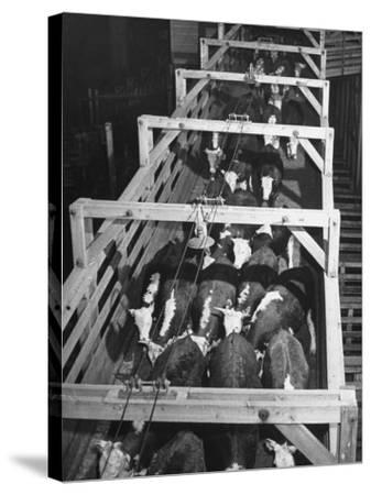 Beef Cattle Walking Down Ramp into Stockyard Pens--Stretched Canvas Print