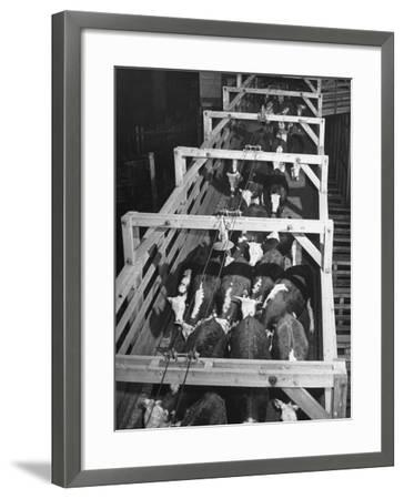 Beef Cattle Walking Down Ramp into Stockyard Pens--Framed Photographic Print