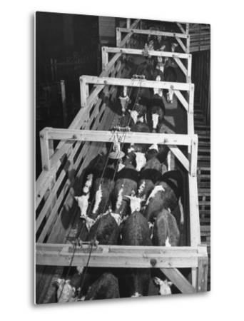 Beef Cattle Walking Down Ramp into Stockyard Pens--Metal Print