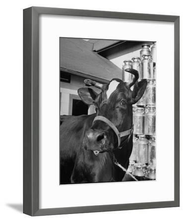 A View of a Cow on a Farm--Framed Photographic Print