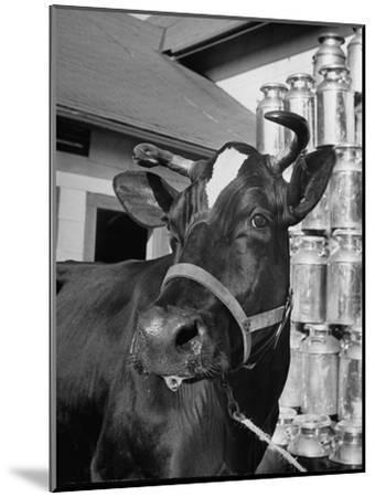 A View of a Cow on a Farm--Mounted Photographic Print