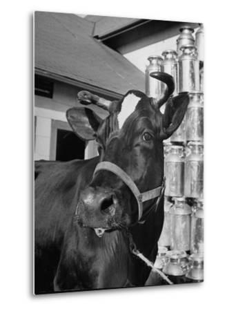 A View of a Cow on a Farm--Metal Print