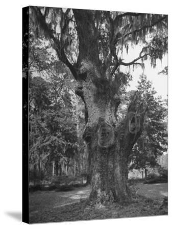 A Live Oak Tree with Spanish Moss Hanging from Them--Stretched Canvas Print