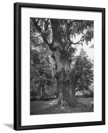 A Live Oak Tree with Spanish Moss Hanging from Them--Framed Photographic Print