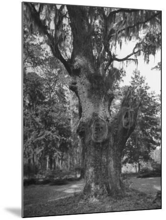 A Live Oak Tree with Spanish Moss Hanging from Them--Mounted Photographic Print