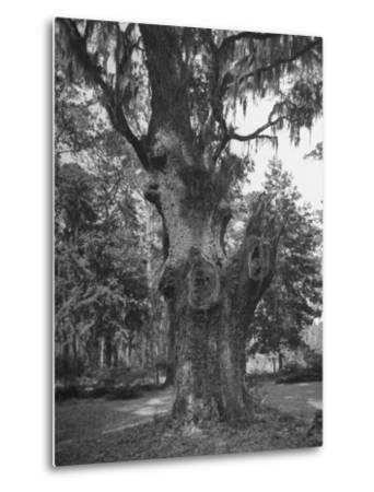 A Live Oak Tree with Spanish Moss Hanging from Them--Metal Print