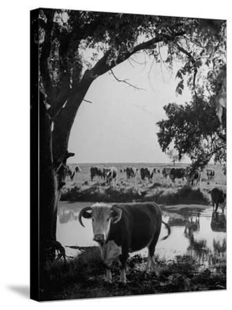 Cattle Grazing in a Pasture Near the Creek on the Ranch--Stretched Canvas Print