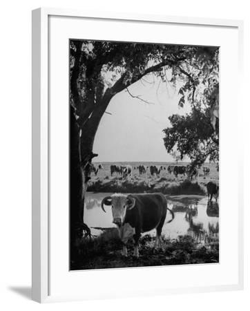 Cattle Grazing in a Pasture Near the Creek on the Ranch--Framed Photographic Print