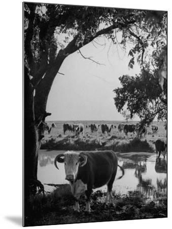 Cattle Grazing in a Pasture Near the Creek on the Ranch--Mounted Photographic Print