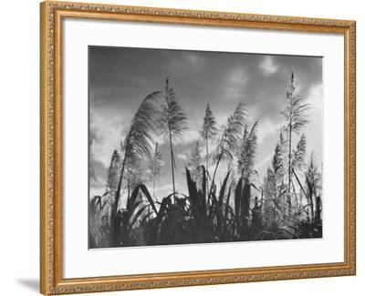 Sugar Cane Showing Tassels on the Canlubang Sugar Plantation--Framed Photographic Print