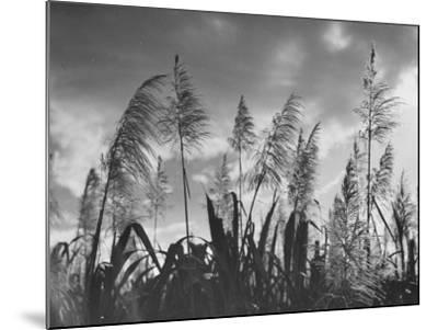 Sugar Cane Showing Tassels on the Canlubang Sugar Plantation--Mounted Photographic Print