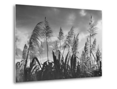 Sugar Cane Showing Tassels on the Canlubang Sugar Plantation--Metal Print