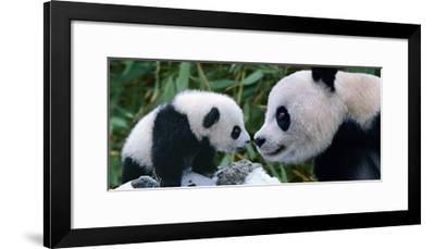 Panda Bear With Cub-Steve Bloom-Framed Giclee Print